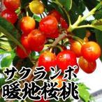 果樹苗 サクランボ 暖地桜桃 1株