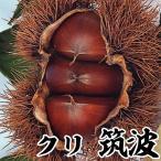 果樹苗 クリ 筑波 1株