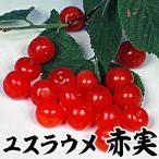 果樹苗 ユスラウメ 赤実 1株