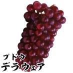 果樹苗 ブドウ デラウェア 1株