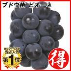 果樹苗 ブドウ ピオーネ 1株 / 苗木 葡萄 ぶどう 甘い 美味しい 大きい