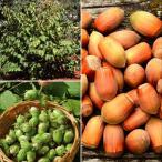 果樹苗 アメリカンヘーゼルナッツ 1株