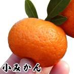 果樹苗 カンキツ 小みかん 特等苗 1株