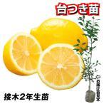 果樹苗 カンキツ レモン 台つき苗 1株