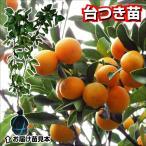 果樹苗 カンキツ ニンポウキンカン 台つき苗 1株