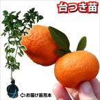 果樹苗 カンキツ 小みかん 台つき苗 1株