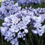 花苗 アガパンサス バレンシア 1株 / 花の苗 はな苗 花壇