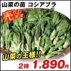 山菜苗 大株コシアブラ 2株 / 山菜の苗