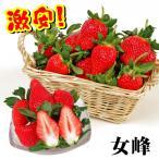 いちご苗 女峰 5株 / イチゴの苗 いちごの苗 苺の苗 いちご 苗 親株