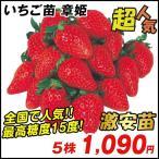 いちご苗 章姫 5株 / イチゴの苗 いちごの苗 苺の苗 いちご 苗 親株