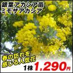 花木 ミモザアカシア 1株 / 庭木