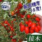 ショッピングトマト 接木野菜苗 ミニトマト 接木F1豊産あま娘 2株