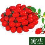 実生野菜苗 ミニトマト F1シュガー 4株