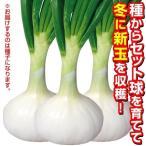 野菜たね タマネギ 冬どり玉葱白色 1袋(3ml)