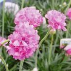 花たね 種 多年草 宿根アルメリア 1袋(60mg) / タネ 種 花壇 ガーデニング 国華園