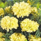 花たね マリーゴールド キリマンジャロホワイト 1袋(20粒)
