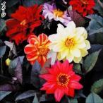 花たね 種 ダリア レッドスキン 1袋(200mg) / タネ 種 花壇 鉢植え ガーデニング 国華園