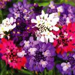 ショッピング花 花たね 花壇向き イベリス ドワーフミックス 1袋(200粒)