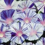 花たね つる植物 西洋朝顔 ヴェニスブルー 1袋(20粒)