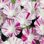 花たね つる植物 西洋朝顔 ヴェニスピンク 1袋(20粒)