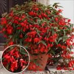 ショッピング花 花たね 鉢・花壇向き ベゴニア F1コパカバーナ レッド 1袋(10粒)