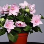 花たね キキョウ アストラ セミダブルピンク 1袋(20粒)