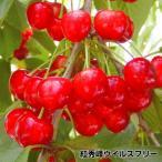 果樹苗 サクランボ 紅秀峰 ウイルスフリー 1株