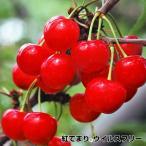 果樹苗 サクランボ 紅てまりP ウイルスフリー 1株