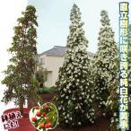 果樹苗 常緑ヤマボウシ サマーグラッシーP 1株