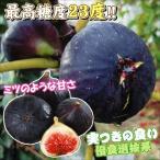 果樹苗 イチジク 選抜ビオレーソリエス 3株 / 果物苗 フルーツ苗