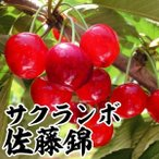 果樹苗 サクランボ 佐藤錦 1株