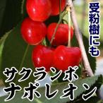 果樹苗 サクランボ ナポレオン 1株