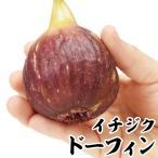 果樹苗 イチジク ドーフィン 1株 / 果物苗 フルーツ苗