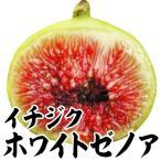 果樹苗 イチジク ホワイトゼノア 1株 / 果物苗 フルーツ苗