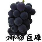 果樹苗 ブドウ 巨峰 1株 / 果物苗 フルーツ苗 葡萄 ぶどう