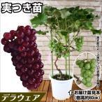 果樹苗 ブドウ デラウェア実つき 1株