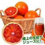 果樹苗 カンキツ タロッコ 1株 / 果物 フルーツ苗 オレンジ ブラッドオレンジ