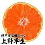 果樹苗 カンキツ 上野早生特等苗 1株 / 苗木 果物 フルーツ苗 みかん ミカン 蜜柑