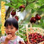 果樹苗 トロピカルフルーツ セレージャ 3株