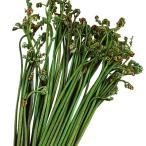 有用植物苗 ワラビ 5株