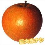 果樹苗 ナシ 大天梨R(ささき1号P) 1株
