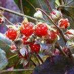 果樹苗 昔懐かしい果樹 フユイチゴ 1株