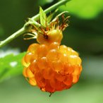果樹苗 昔懐かしい果樹 モミジイチゴ 2株