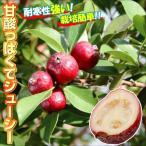 果樹苗 熱帯果樹 ストロベリーグァバ 1株