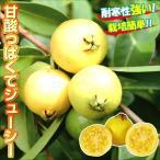 果樹苗 熱帯果樹 イエローストロベリーグァバ 1株