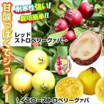 果樹苗 熱帯果樹 ストロベリーグァバセット 2種2株