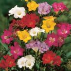 秋植え球根 フリージア シングル咲セット 5色25球(各5球) / 花の球根 きゅうこん フリージヤ 一重咲き 国華園