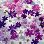 花苗 雪割草ミックス 12芽