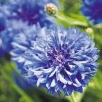 種 花たね 矢車草 ブルーボーイ 1袋(500mg) / 花種 花の種 はなたね ヤグルマギク 矢車菊 セントウレア セントーレア ドライフラワー ブルーガーデン 青い花