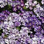 種 花たね 切花向き フロックス シュガースター 1袋(200mg)/タネ たね